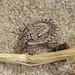 Bug - Menaccarus arenicola by timz501