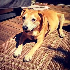 My sunbathing Princess... Too hot today, bring on fall!! #dogstagram #instadog #rescued #houndmix #happydog #smiling #summer #adoptdontshop