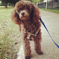 toy poodle, miniature poodle, standard poodle, dog breed, animal, dog, pet, lagotto romagnolo, mammal, poodle crossbreed, spaniel, poodle, cockapoo, american water spaniel,