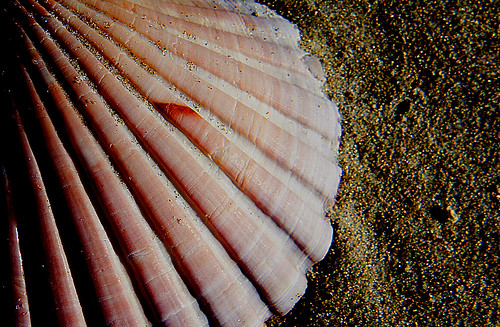 Scallop shell.