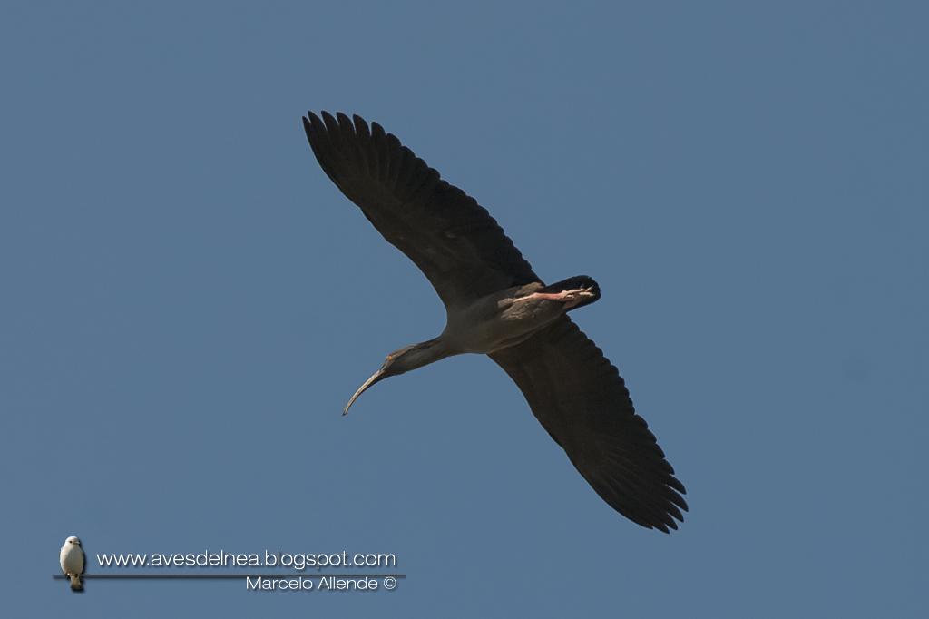Bandurria mora (Plumbeous Ibis) Harpiprion caerulescens