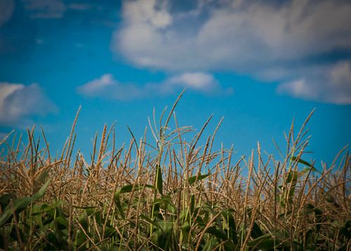 08-26-14 High Corn