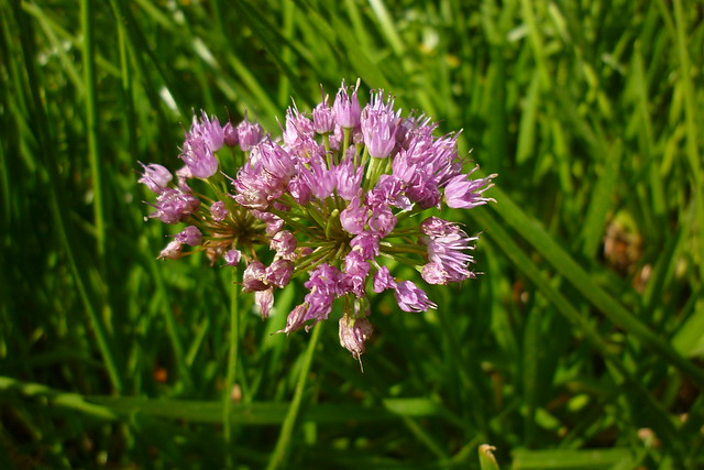 Header of Allium ampeloprasum