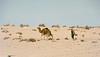 Kamele 1, Algerien und Indien 1980-1994 - 01