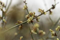 Muehlenbeckia florulenta