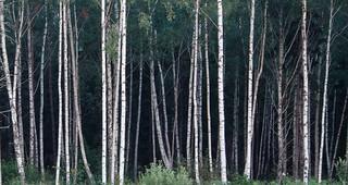 barcode in birch