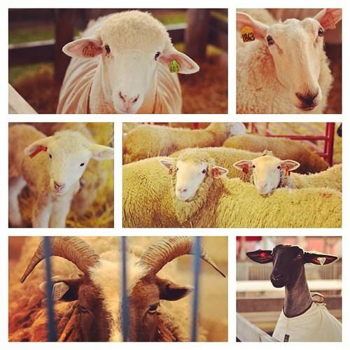 Faces of the Wisconsin Sheep and Wool festival.  #wsaw  #kindredthreads #sheep