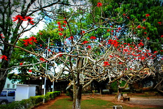 The tree with red flowers without leaves