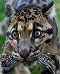 animal, big cats, leopard, snout, mammal, jaguar, fauna, close-up, ocelot, whiskers, wildlife,