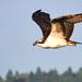 HI Osprey DSC_2988 jpg by hummingbirdzoo