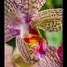 phalaenopsis3747_080314