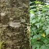 Birch #texture #nature