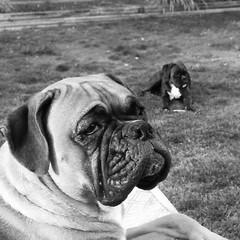 Enjoying the few days left of nice weather.   #boxersofinstagram #dogsofinstagram #doglover #dogs #dog #boxergram #instagramdogs #dogsofsummer
