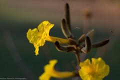 Amarelo meigo