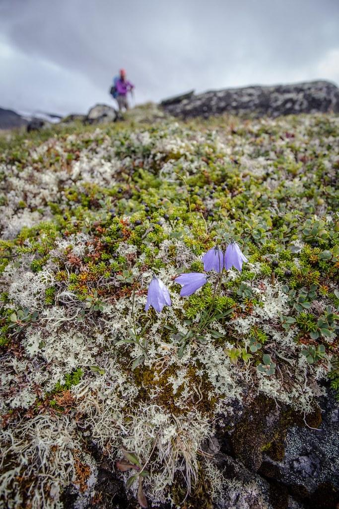 Harebell (Campanula rotundifolia). Jotunheimen NP.