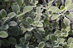 Silver-edged Horehound