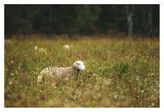 Farm Sheep below Mohonk