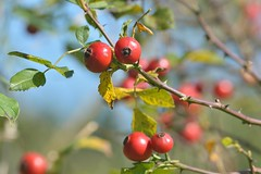 shrub(0.0), cherry(0.0), berry(0.0), acerola(0.0), flower(0.0), crataegus pinnatifida(0.0), hawthorn(0.0), autumn(0.0), branch(1.0), tree(1.0), plant(1.0), rosa canina(1.0), flora(1.0), produce(1.0), fruit(1.0), food(1.0), rose hip(1.0),
