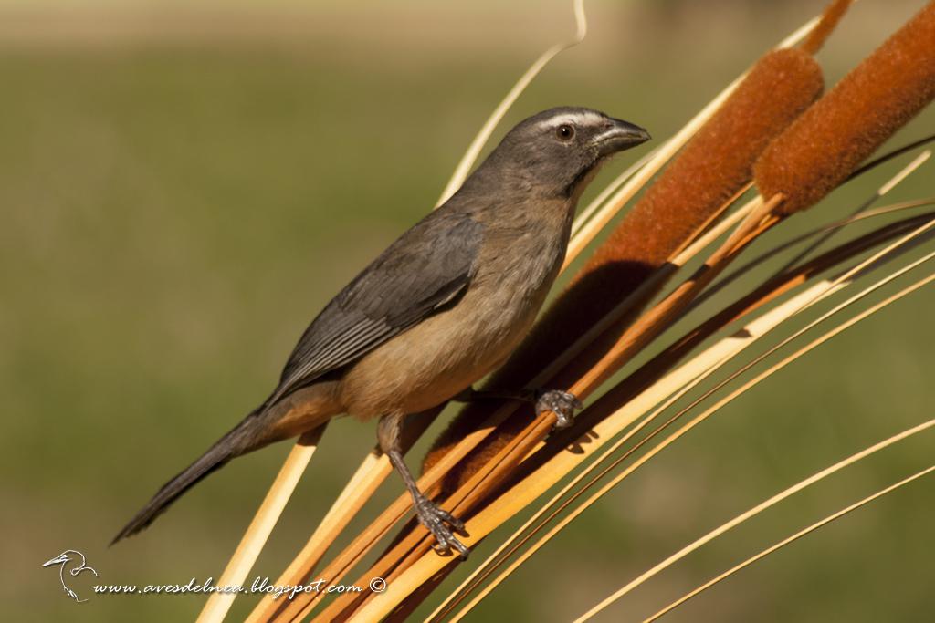 Pepitero gris (Grayish saltator) Saltator coerulescens