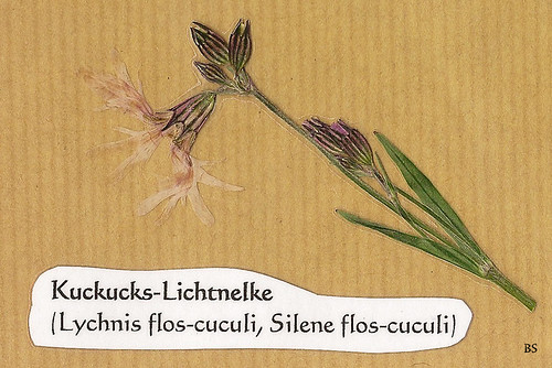 Kuckucks-Lichtnelke Silene flos-cuculi Mannheim Natur Kurpfalz Pflanze Wildpflanze blühen Blüte Foto Brigitte Stolle