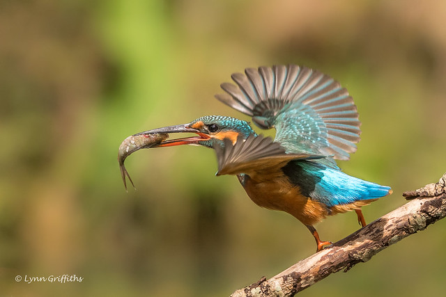 Kingfisher (Alcedo atthis) D50_3745.jpg
