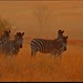 Zebra Sunrise. by LC's Eye (Wild Images of Africa)