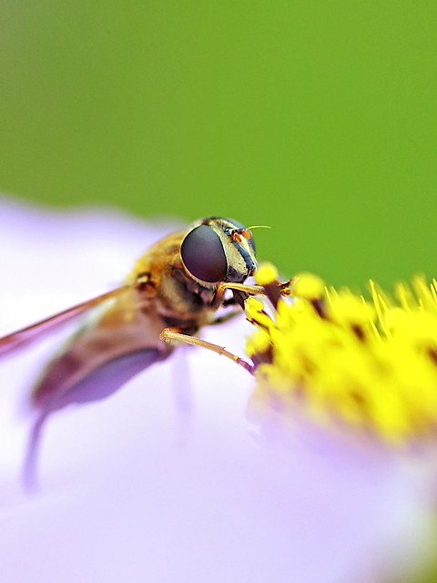 Dronefly on the Flower