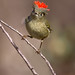 Ruby-Crowned Kinglet by Eric Gofreed