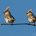 WAXWINGS, from today 18/11/2016 by Trevsbirds