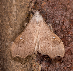 White-spotted Redectis Moth