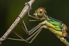 Emerald Damselfly ♀