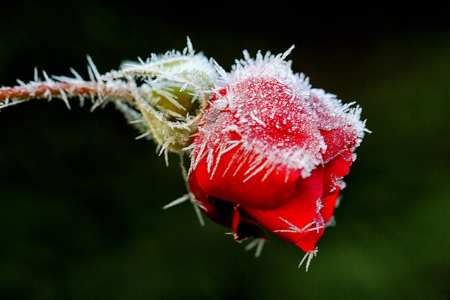 Rose et givre