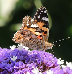 Painted Lady at Caesarea Maritima, Israel.