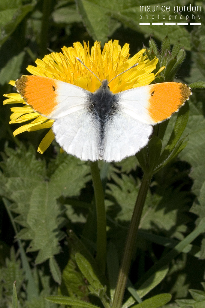 orange-tip9