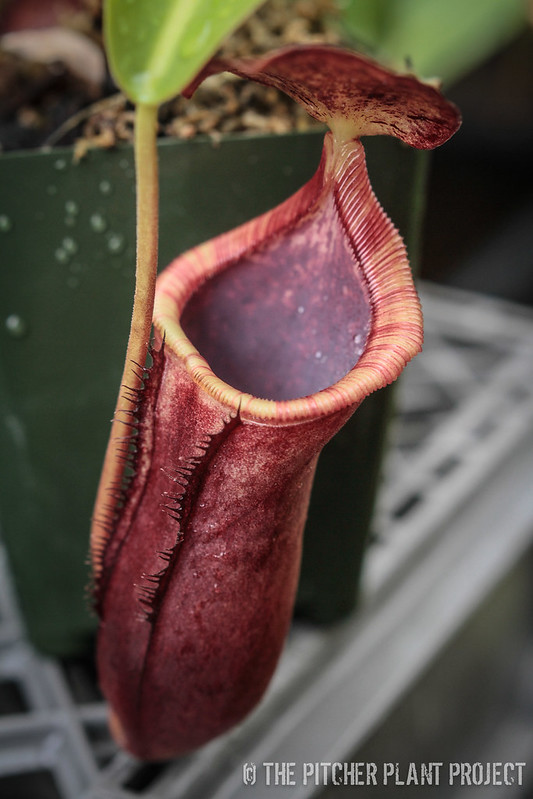 Nepenthes lowii x campanulata