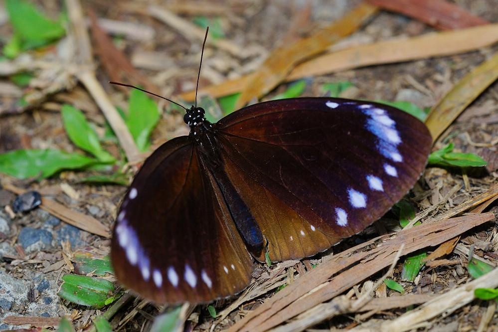 紫斑蝶屬雙標紫斑蝶14S101