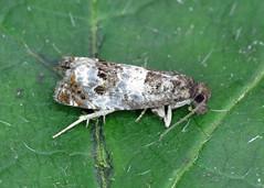 49.298 Triple-blotched Bell - Epiblema trimaculana