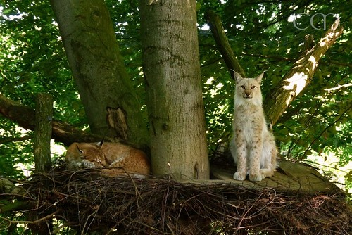 Beautiful Lynx couple!