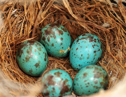 Sage thrasher eggs and nest on Seedskadee National Wildlife Refuge 02 | by USFWS Mountain Prairie
