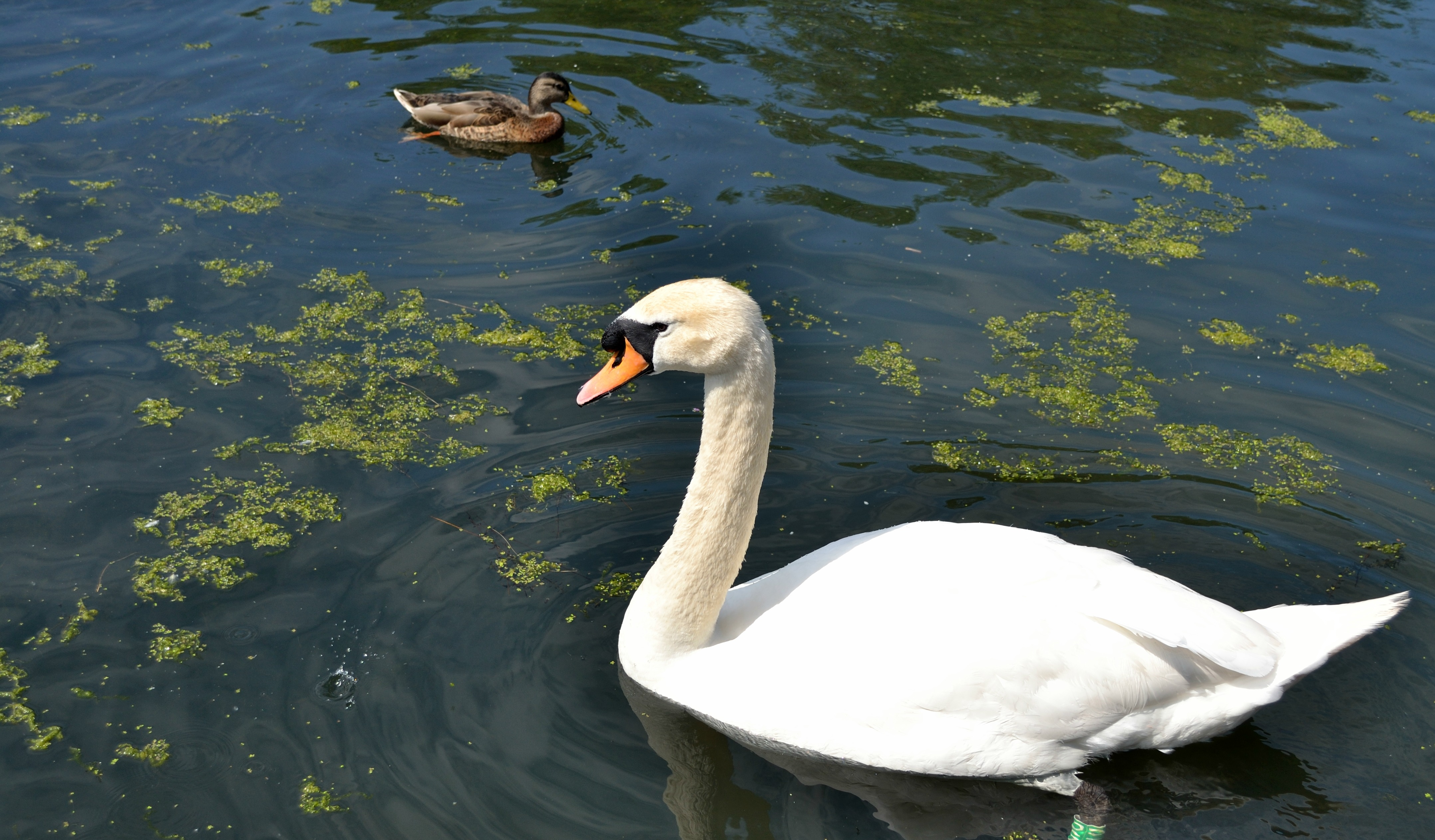 Swans & ducks at Figgate Park, Portobello.
