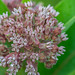 Common Milkweed (Asclepias syriaca) by ER Post