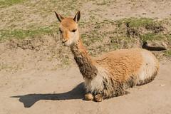 alpaca(0.0), animal(1.0), mammal(1.0), llama(1.0), fauna(1.0), vicuã±a(1.0), guanaco(1.0), wildlife(1.0),