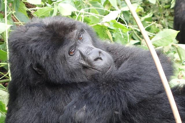 140625 Gorillas (127)