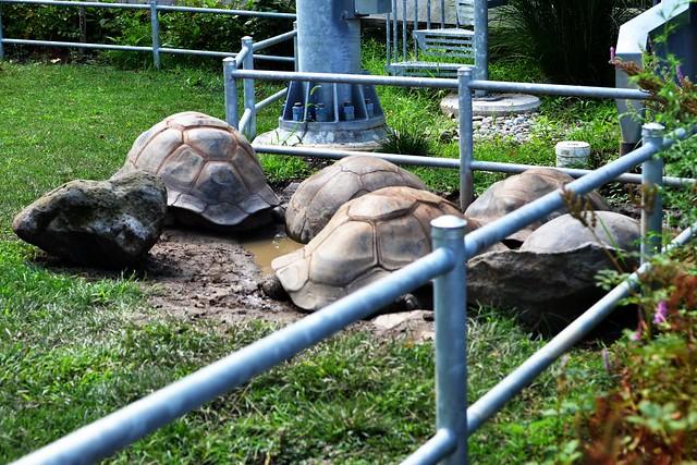 Tortoise Cuddle Puddle