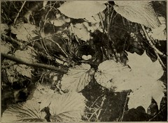 "Image from page 144 of ""The Oölogist for the student of birds, their nests and eggs"" (1886)"