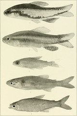 """Image from page 700 of """"The freshwater fishes of British Guiana, including a study of the ecological grouping of species and the relation of the fauna of the plateau to that of the lowlands"""" (1912)"""