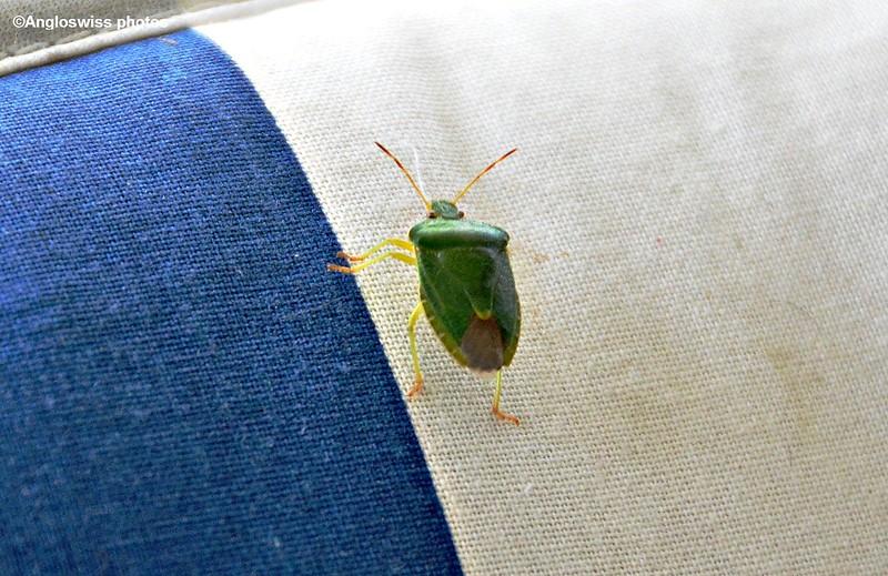 Green Shield-Stink Bug