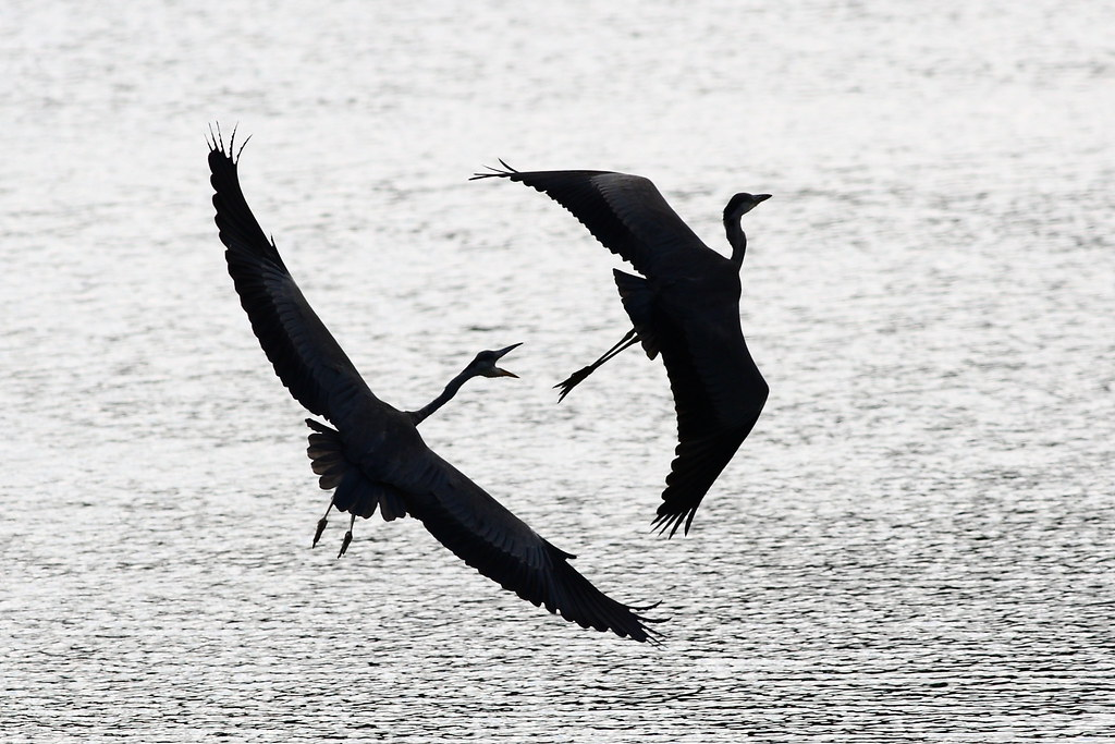 Grey Herons in Flight
