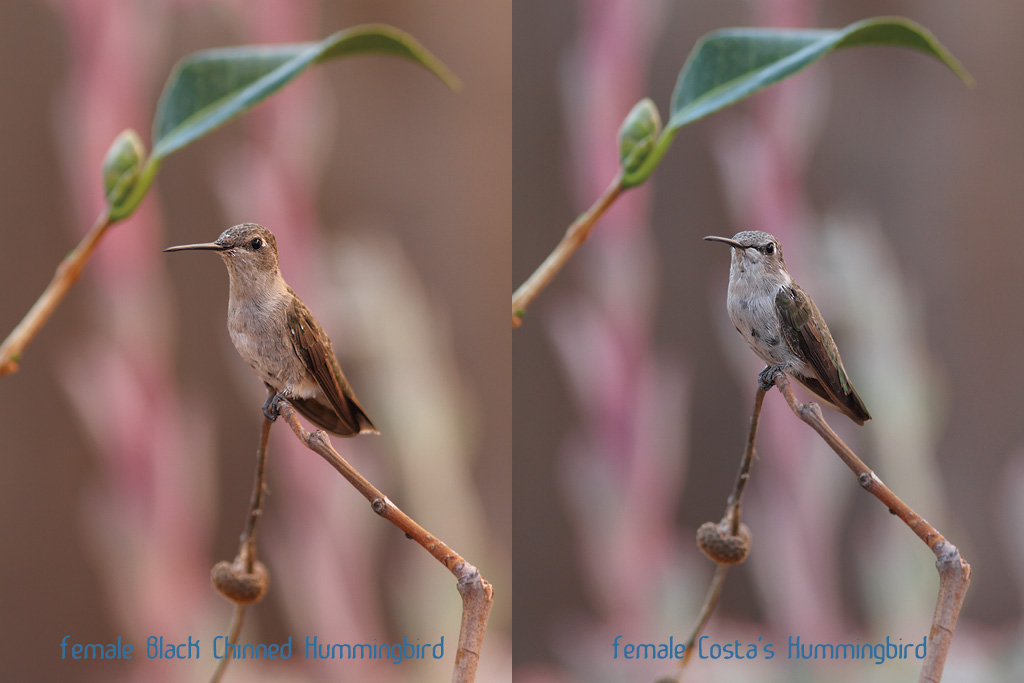 Hummingbird-comparison-140814-2