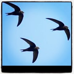 Have you seen #Swifts this #August?